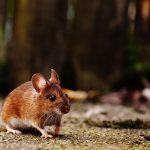 ネズミの処理